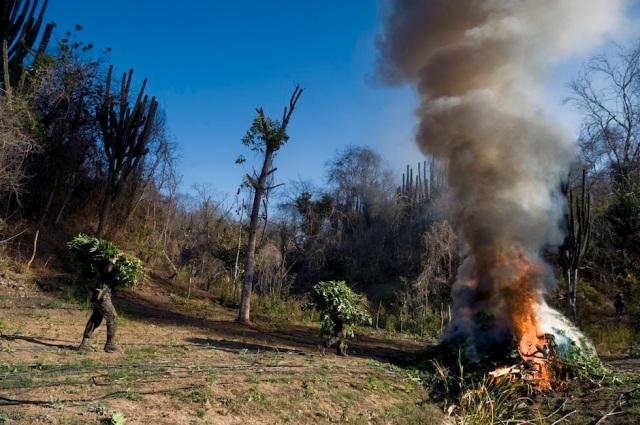 Marijuana plants are burnt at a field, i